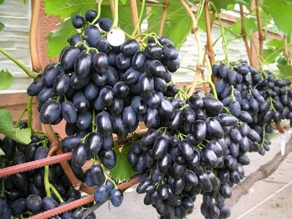 Сорт винограда Памяти Негруля: фото, отзывы, описание, характеристики.