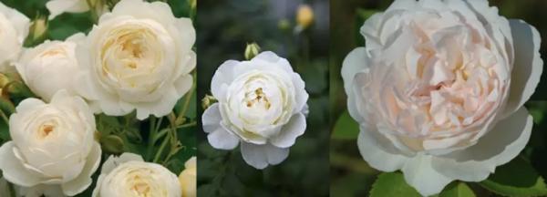 """Роза """"Клэр Остин"""" (описание сорта, отзывы, уход, фото)"""