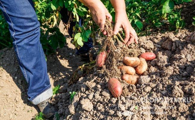 Картофель «Беллароза», по отзывам овощеводов, обеспечивает стабильный высокий урожай даже на тяжелых почвах и при неблагоприятных погодных условиях