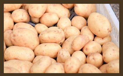 Использование картошки бройлерам