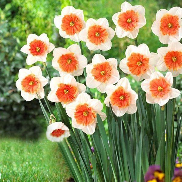 Нарциссы цветут в среднем 2 недели