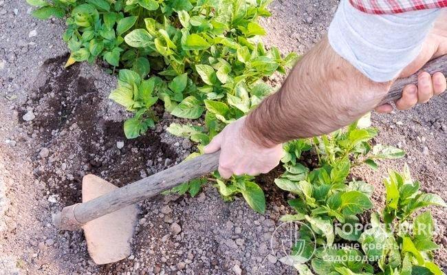 Рыхление почвы и окучивание кустов советуют совмещать с внесением минеральных или органических удобрений