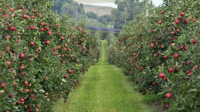 ЭМ-препараты для восстановления здорового сада