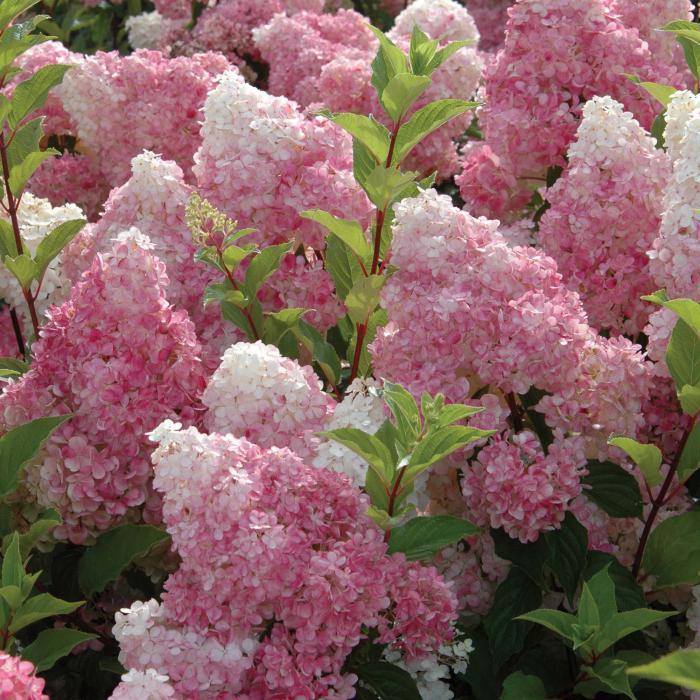 Почему не цветёт метельчатая гортензия