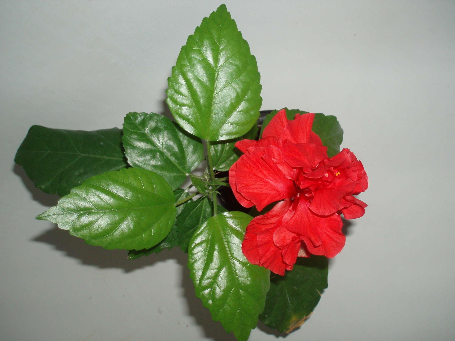 Китайская роза уход и выращивание из семян