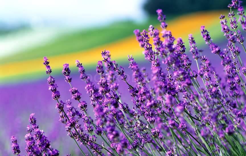Иссоп трава при простуде