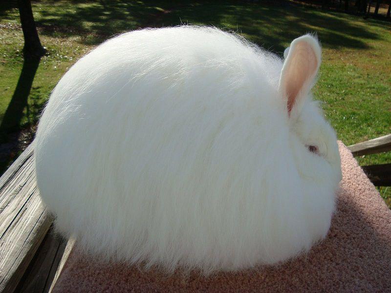 Взрослый ангорский кролик