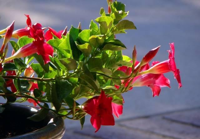 Прищипка петунии: над каким листом, фото, когда и как прищипывать рассаду петунии пошагово
