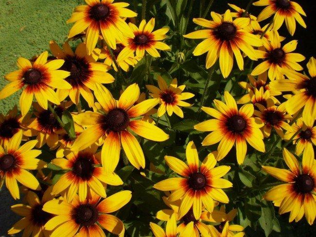 Рудбекия (45 фото): как вырастить «золотой шар» в вашем саду