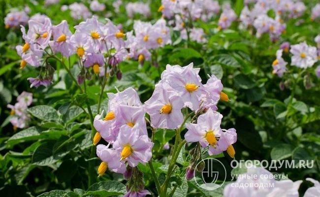 Растения высокие, прямостоячие, с крупными зелеными листьями и соцветиями красно-фиолетовых цветов