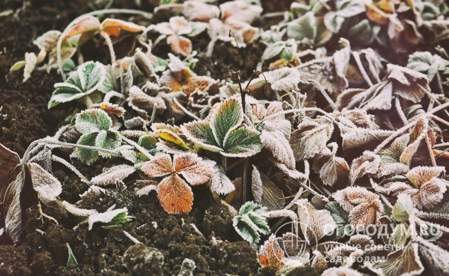 На кустах данного сорта советуют оставлять на зиму листья (даже пожухлые)