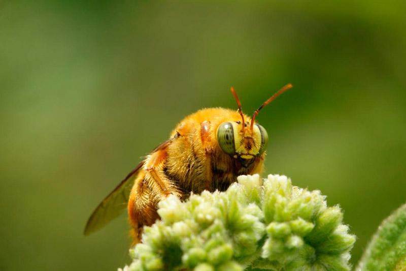 Вид пчёл Xylocopa Darwini