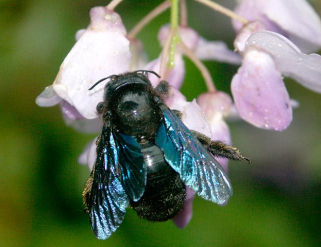 Виды пчёл Xylocopa Valga