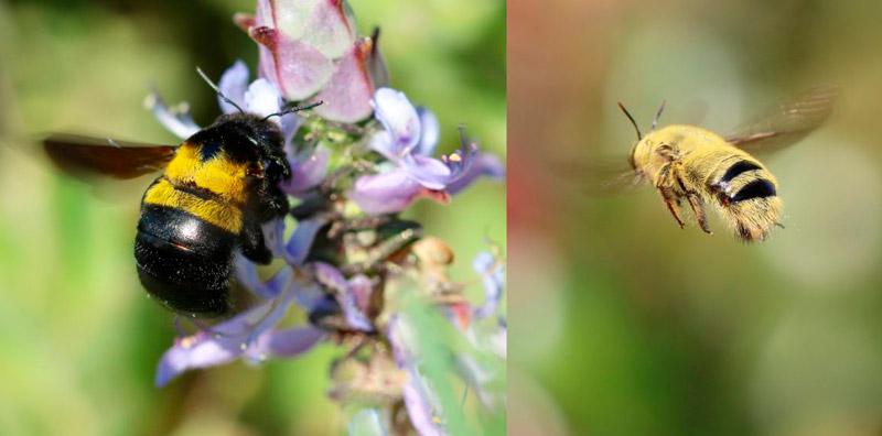 Вид пчёл Xylocopa Caffra