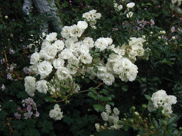 Роза Альба может выживать даже в Сибири