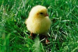 корм трава для цыплят