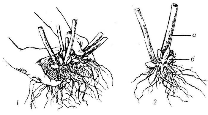 Деление корневища флоксов
