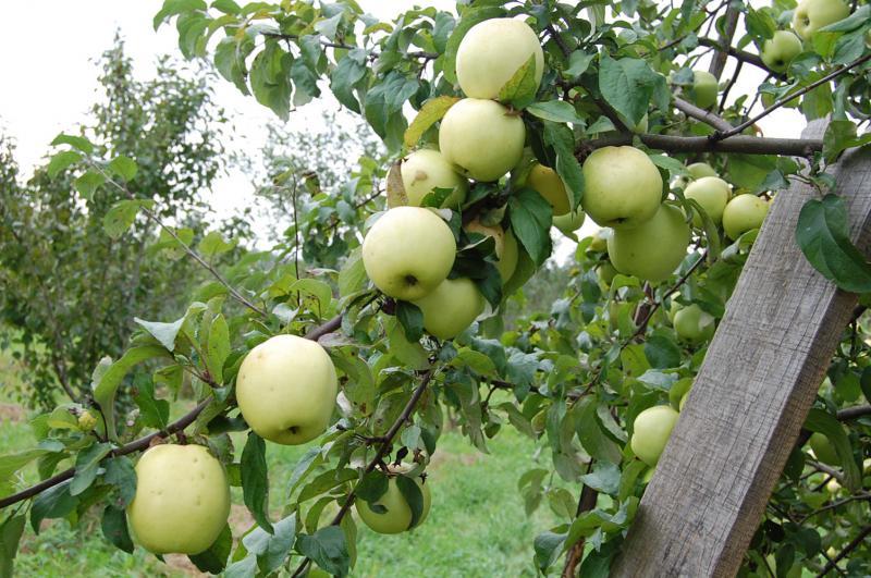 Для сложного климата хорошо подходят колоновидные яблони и сорта вроде Антоновки