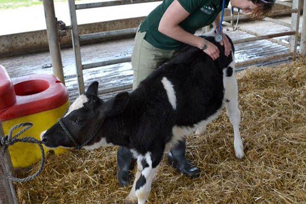 Фото медицинского осмотра теленка для профилактики заболеваний