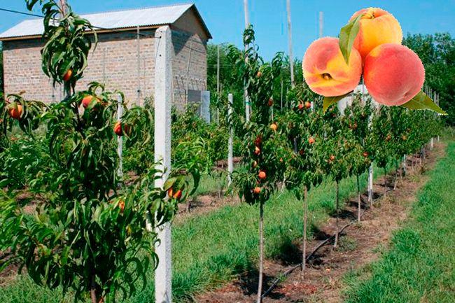 Где лучше посадить саженец персика