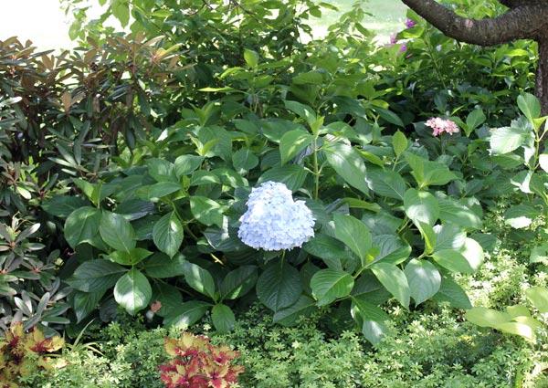 Отказывается цвести гортензия метельчатая: основные причины