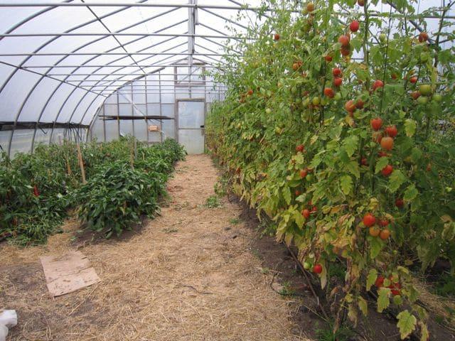 влияние томата и перца
