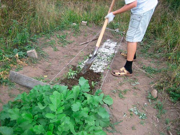 Из-за короткого срока вегетации редиса, за ним не нужно долго смотреть и ухаживать