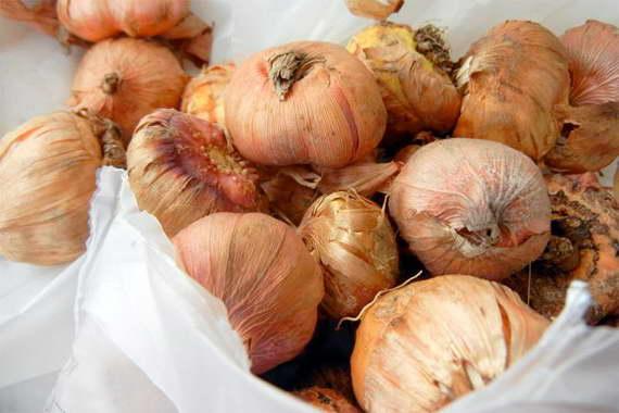 Как хранить луковицы гладиолуса зимой фото