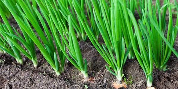 Как сажать лук порей на рассаду