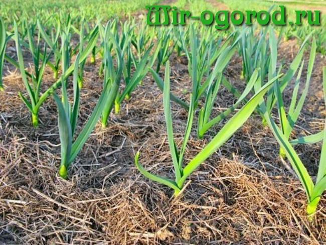 Как вырастить крупный чеснок на огороде