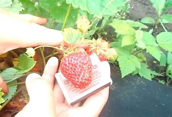 Ремонтантная клубника земляника сорта выращивание и уход