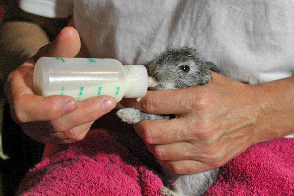 Крольчонок активно сосет молоко