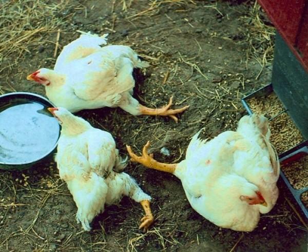 Куры и цыплята падают на ноги