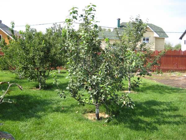 Место для посадки яблони