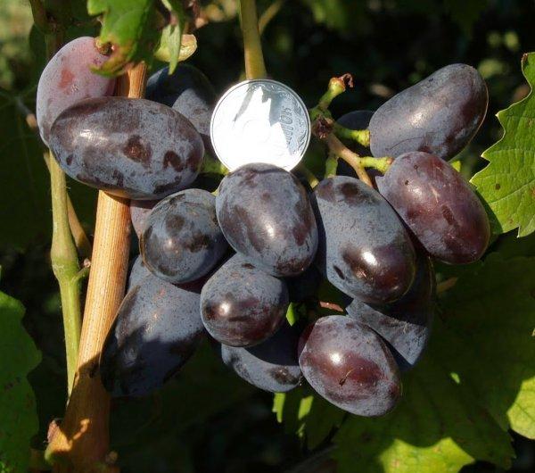 """Виноград """"Байконур"""": описание сорта, отзывы   фото и видео"""
