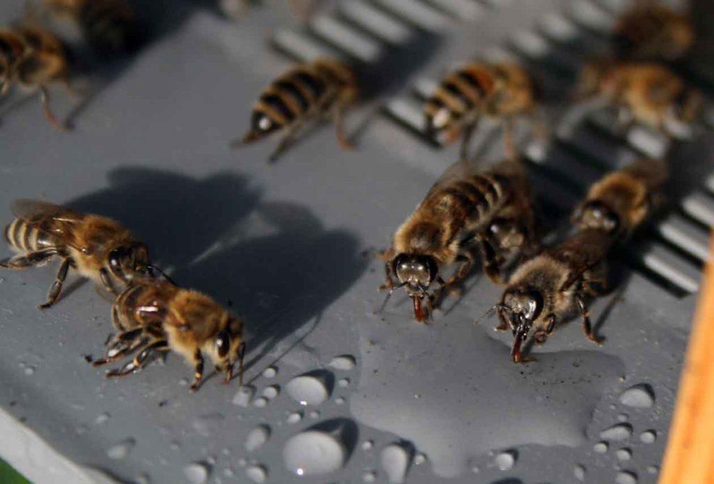 Пчелы пьют