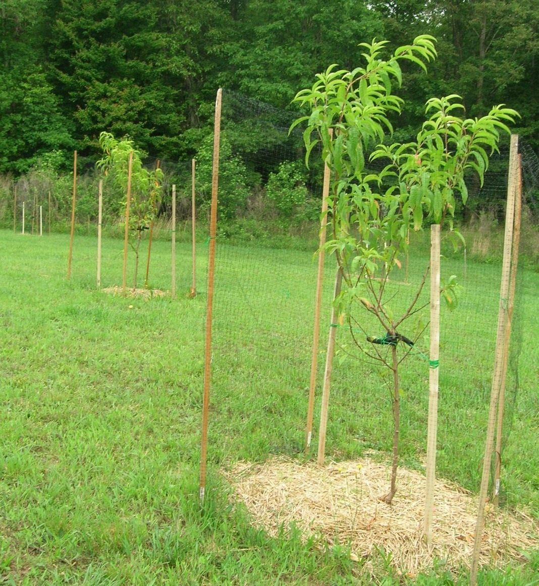 Высаженные персиковые деревья