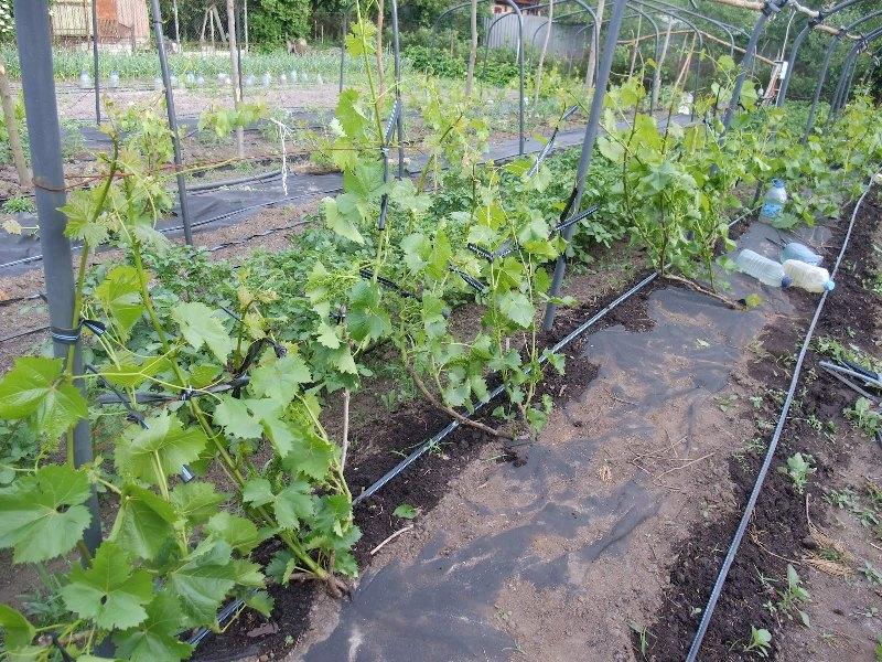 Плохо растет виноград как устранить проблему развития