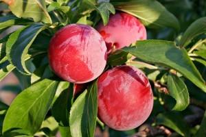 Гибрид вишни и сливы
