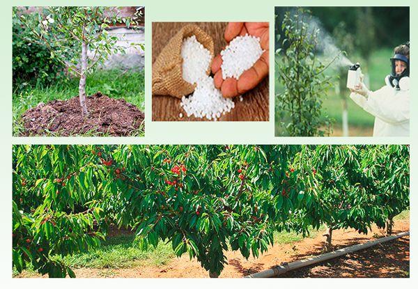 Подкормка и обработка вишни весной