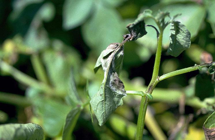 Вялые листья картофеля