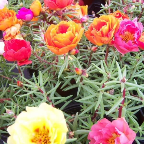 цветы портулак на фото