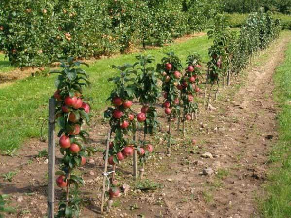 Посадка коловидных яблонь весной, расстояние между деревьями