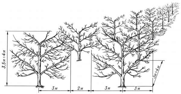 Посадка яблонь весной - расстояние между деревьями