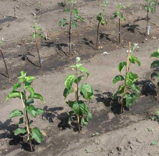 реимущества посадки яблони весной