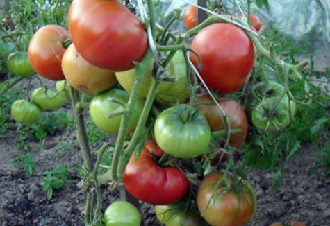 томат розовые щечки в открытом грунте