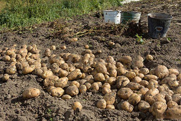 Сбор урожая картофеля Гулливер