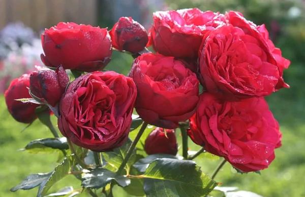 Роза пиано — описание и применение в ландшафтном дизайне