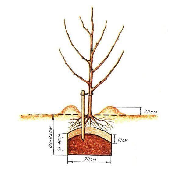 Схема посадки яблони весной