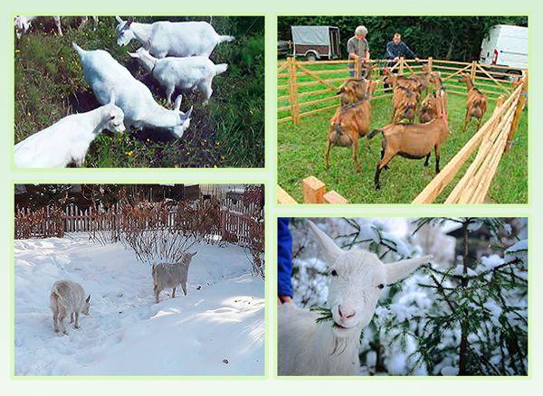 Содержание коз в домашних условиях подразумевает регулярные прогулки животных на свежем воздухе